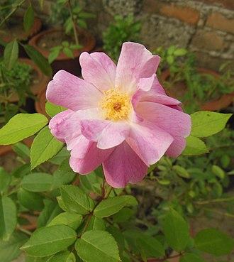 Rosa rubiginosa - Image: Pink Rose 2