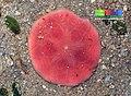 Pink sand dollar (Peronella lesueuri).jpg