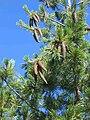Pinus monticola foliagecones.jpg