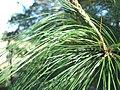 Pinus oocarpa, hojas, San Rafael del Norte, Nicaragua.jpg
