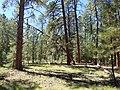Pinus ponderosa subsp. brachyptera kz06.jpg