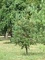 Pinus sylvestris (2), Niš.jpg