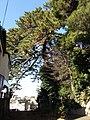Pinus thunbergii of Akiba.B.JPG