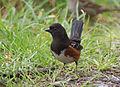 Pipilo maculatus -Reifel Island, Vancouver, Canada -front-8.jpg