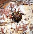 Plant Bug instar (36144922543).jpg
