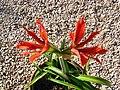 Plant Hippeastrum Aulicum.jpg