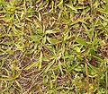 Plantago lanceolata 10 ies.jpg