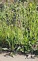 Plantago lanceolata 20140416a.jpg