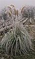 Plante de la pampa couverte de givre.JPG