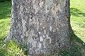 Platanus occidentalis 12zz.jpg
