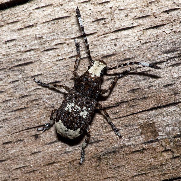 File:Platystomos.albinus.7875.jpg