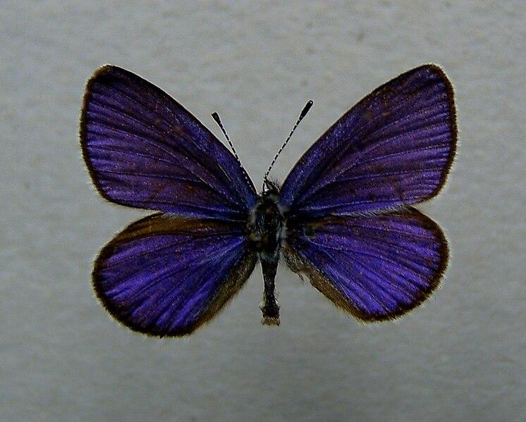File:Plebeius optilete.jpg