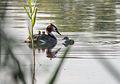 Podiceps cristatus - Haubentaucher - Great Crested Grebe - Familiy1.jpg