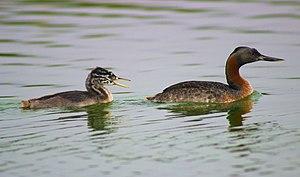 Pantanos de Villa Wildlife Refuge - Great grebe at Pantanos de Villa.