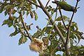 Poicephalus senegalus - Gunjur, Western Division, Gambia -two-8.jpg