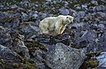 Polar bear (js)1.jpg
