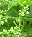 Pollination of Jatropha curcas by small bees.jpg