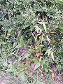 Polygonum longisetum 6.JPG