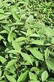 Polygonum molle - Sikkim Knotweed - at Ooty 2014 (6).jpg