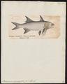 Polynemus quadrifilis - 1700-1880 - Print - Iconographia Zoologica - Special Collections University of Amsterdam - UBA01 IZ13400127.tif