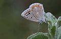 Polyommatus dorylas - Turkuvaz mavisi IMG 0628.jpg