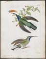 Polytmus ensipennis - 1820-1860 - Print - Iconographia Zoologica - Special Collections University of Amsterdam - UBA01 IZ19100019.tif