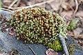 Polytrichum juniperinum, or juniper haircap moss (4337f24c-47f3-4e18-878f-e996462aa108).jpg