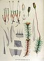Polytrichum juniperinum — Flora Batava — Volume v15.jpg
