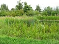 Pond at the WWT London Wetland Centre - geograph.org.uk - 1446732.jpg