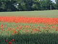 Poppy field at Fornham St Genevieve - geograph.org.uk - 121029.jpg