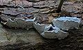 Postia caesia, Conifer Blueing Bracket, UK.jpg