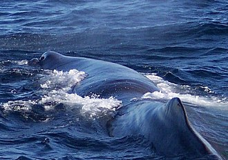 Sperm whale - Unusual among cetaceans, the sperm whale's blowhole is highly skewed to the left of the head