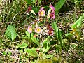 Primevère commune (Primula vulgaris).JPG