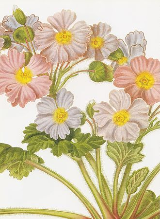 Primula sinensis - Primula sinensis, a hand-coloured engraving from John Lindley's Collectanea botanica (1821) of a plant both named and drawn by Lindley