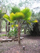 Pritchardia pacifica, Cooktown 2010.jpg