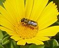 Probably Osmia species (32383931085).jpg