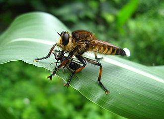Promachus (fly) - Promachus yesonicus
