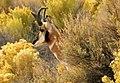 Pronghorn Buck Seedskadee NWR 6 (12895850153).jpg