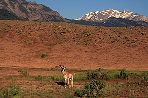 Pronghorn in Yellowstone National Park 1.jpg