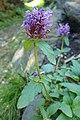 Prunella grandiflora kz02.jpg
