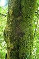 Prunus laurocerasus kz2.jpg