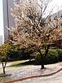 Prunus serrulata in Xuhui High School.JPG