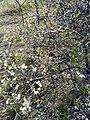 Prunus spinoza, Rosaceae.jpg