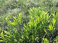 Prunus tenella sl8.jpg
