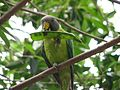 Psittacula cyanocephala -Flying High Bird Habitat -Australia -female-8b.jpg