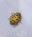 Psyllobora vigintiduopunctata, La Coccinelle à vingt-deux points.jpg