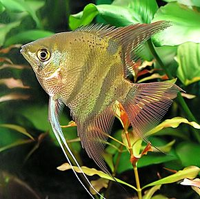 Description de l'image Pterophyllum leopoldi.jpg.