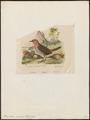 Pteroptochos rubecula - 1836 - Print - Iconographia Zoologica - Special Collections University of Amsterdam - UBA01 IZ19200431.tif
