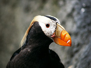 Puffin - A Tufted puffin in Seattle, Washington