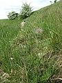 Pulsatilla pratensis (subsp. nigricans) sl24.jpg